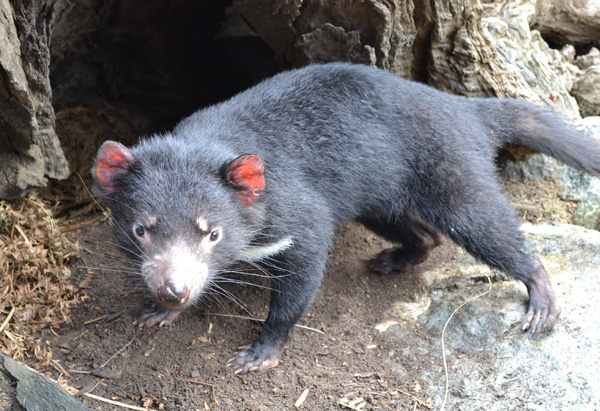 A Tasmanian Devil at Sydney's Taronga Zoo