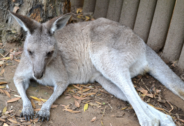 A Western Gray Kangaroo at Sydney's Taronga Zoo