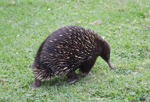 Echidna at Sydney's Taronga Zoo