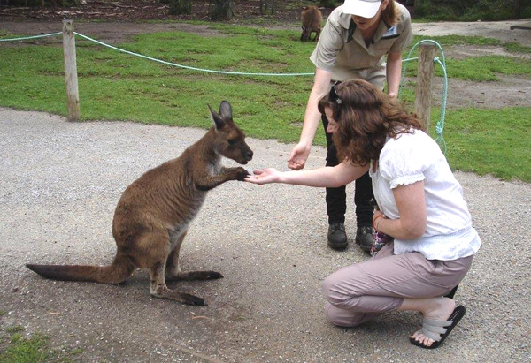 Kangaroo at Healesville Sanctuary in Australia
