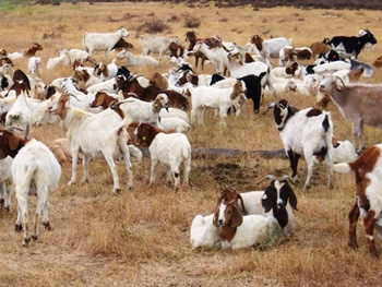 Goats on the Google headquarters