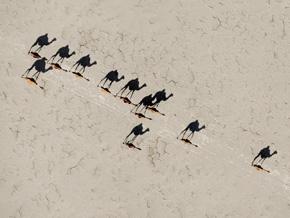 Camels in Lake Assal, Djibouti