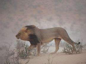 A lion in the Kalahari Desert