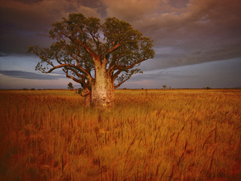 A boab tree in Western Australia