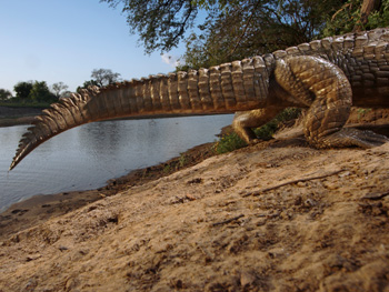 A crocodile in Chad, captured by a remote camera