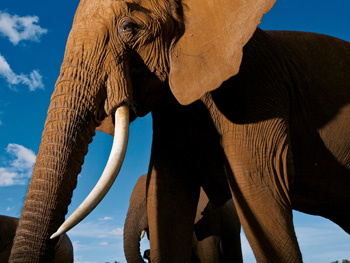 An African elephant in Kenya