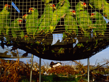 Parrots that survived Hurricane Andrew