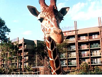 Giraffes and other African animals roam the savanna