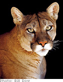 Sheena, a California mountain lion